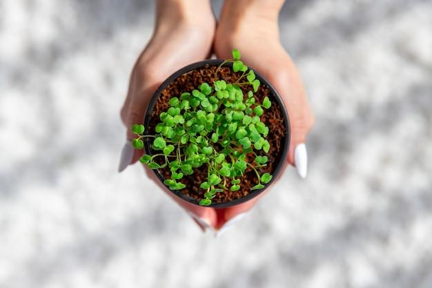 Vrouwelijke handen houden kleine groene spruiten / zaailingen rucola in pot. thuis groeien, lente planten.