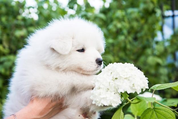 Vrouwelijke handen met witte pluizige samojeed puppy