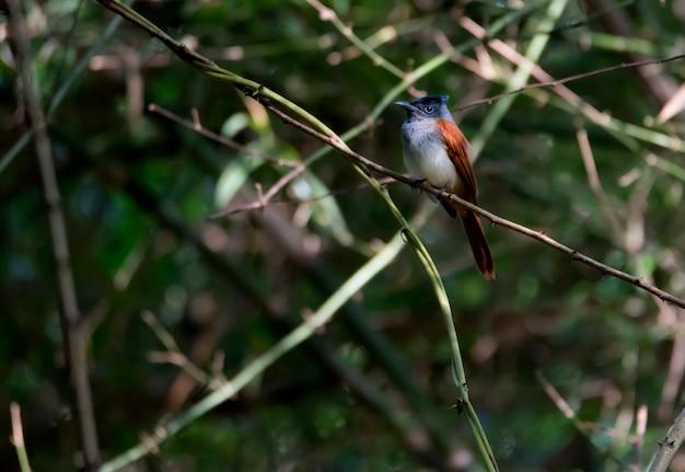 Vrouwelijke indische paradijsvliegenvanger die in het bos, thailand neerstrijken