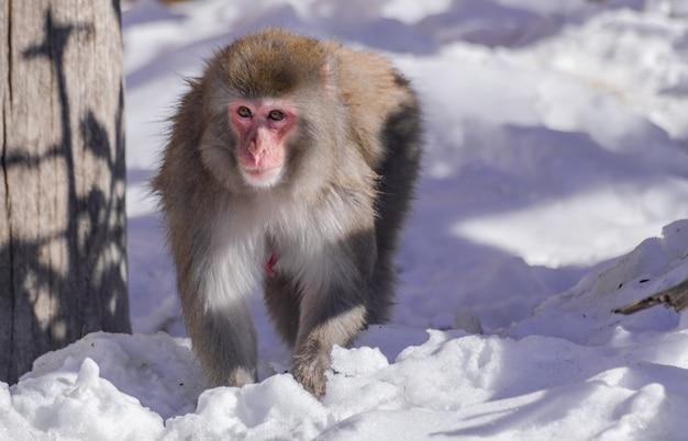Vrouwelijke japanse makaak (macaca fuscata)