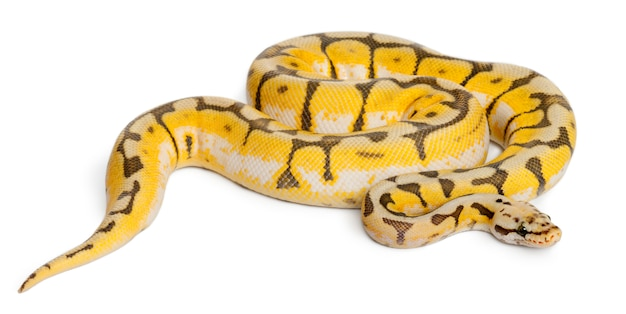 Vrouwelijke killerbee royal python, ball python - python regius killerbee is de kleur