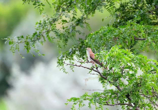 Vrouwelijke koekoek (cuculus canorus) van ongebruikelijke bruine kleur in heldergroene bladeren van een boom