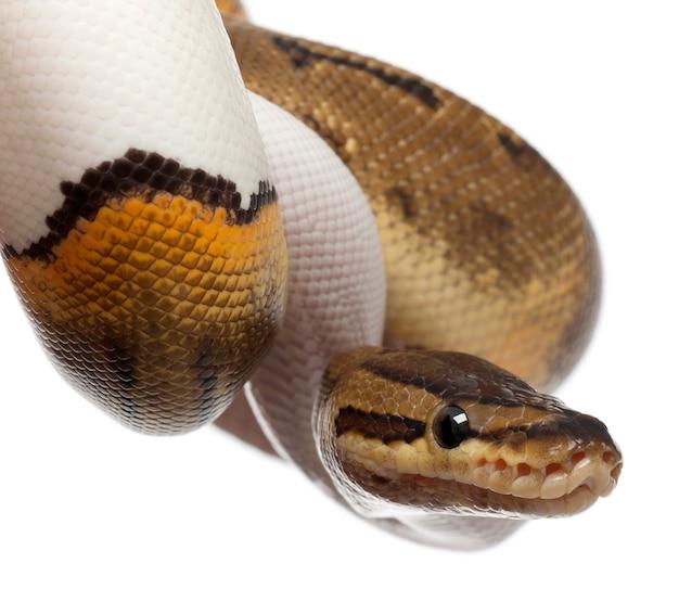 Vrouwelijke krijtstreep bonte koninklijke python, balpython - python regius, krijtstreep