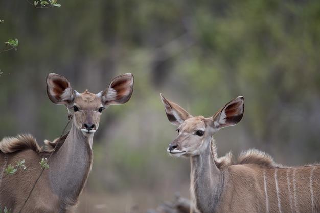 Vrouwelijke kudu's die zich in een veld bevinden