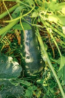 Vrouwelijke landarbeider hand oogsten groene verse rijpe biologische courgette in de tuin