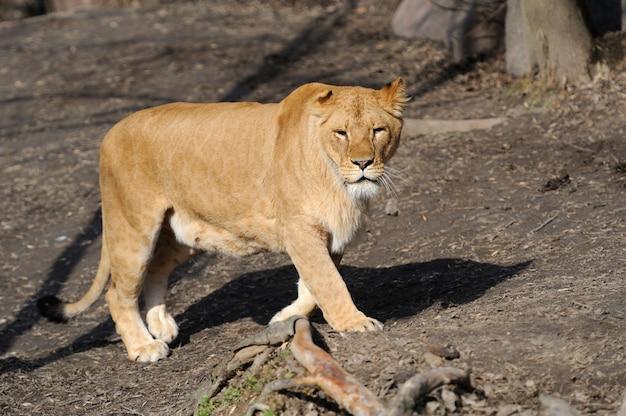 Vrouwelijke leeuw die frontaal in de camera kijkt