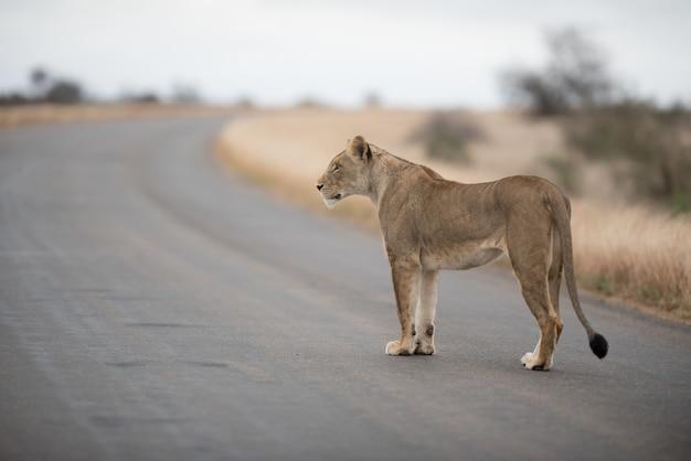 Vrouwelijke leeuw die op de weg loopt