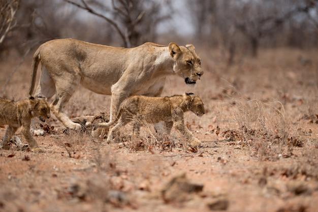 Vrouwelijke leeuw die samen met haar welpen loopt