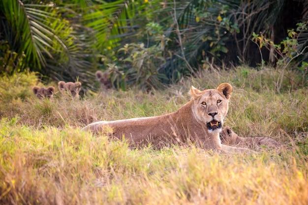 Vrouwelijke leeuwin moeder met kleine leeuwen in masai mara national park.