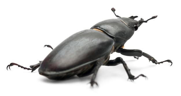 Vrouwelijke lucanus cervus (mannetjeskever)
