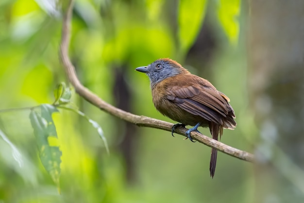 Vrouwelijke mierenvogel zat rustig op een tak op zoek naar voedsel