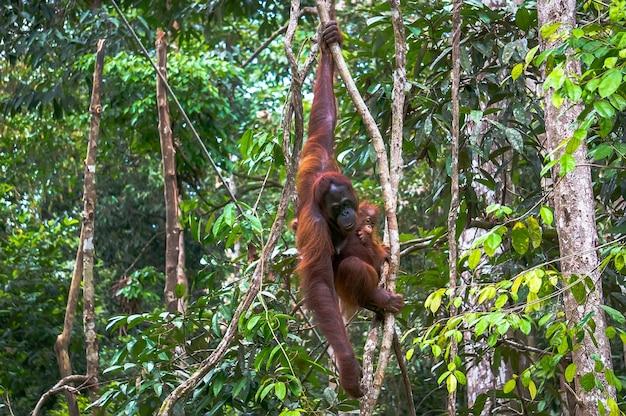 Vrouwelijke orang-oetan met een baby die aan een boom hangt in een nationaal park op het eiland borneo