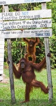 Vrouwelijke orang-oetan met een baby in het wild. indonesië. het eiland kalimantan (borneo).