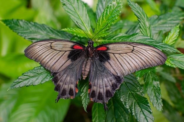 Vrouwelijke papilio memnon, de grote mormoonse vlinder