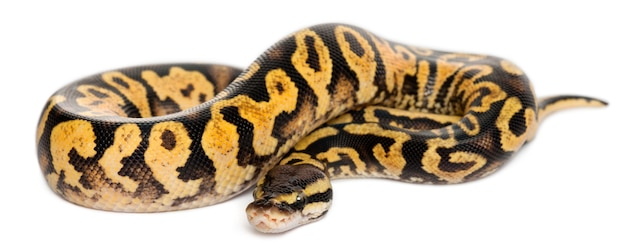 Vrouwelijke pastel calico python royal python, bal python - python regius