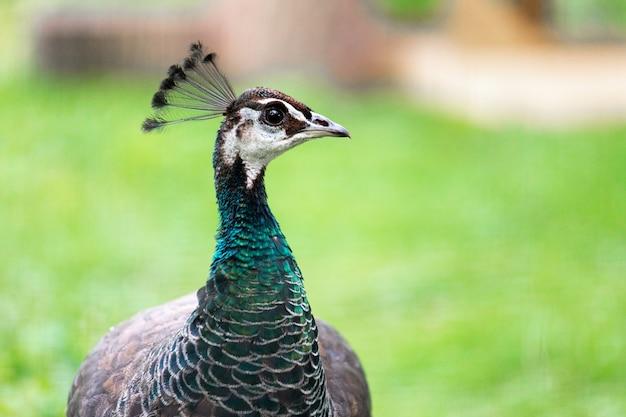 Vrouwelijke pauwvogel op groen gras in de aard