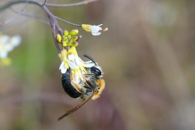 Vrouwelijke roodstaartmijnbij, andrena haemorrhoa, hangend aan een bloem