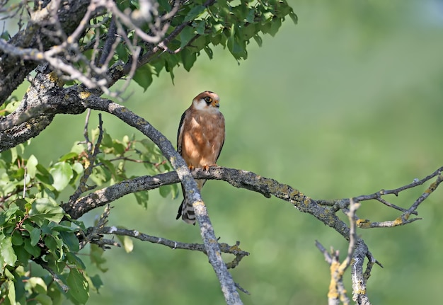 Vrouwelijke roodvoet falcone zit op een tak close-up portret