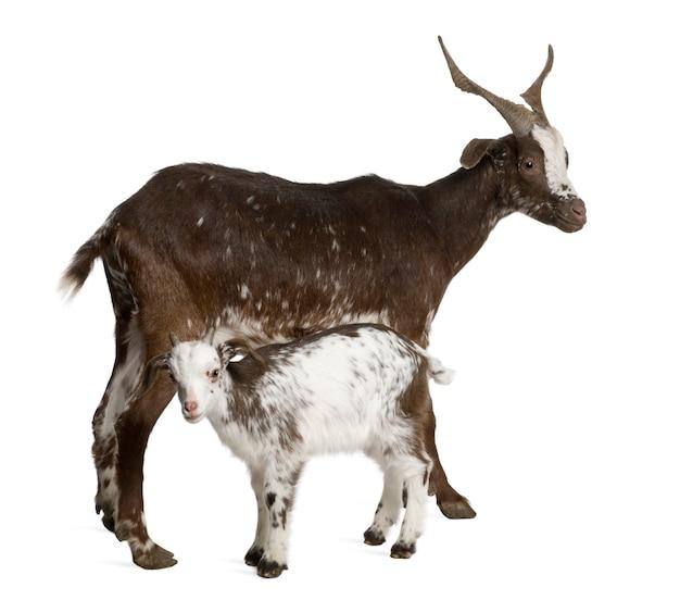 Vrouwelijke rove geit met kind staande