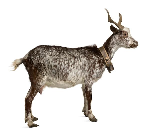 Vrouwelijke rove geit, staande