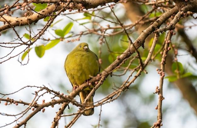 Vrouwelijke roze-hals groene duif die op de tak, thailand neerstrijkt