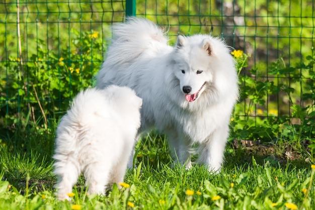 Vrouwelijke samojeed-hond met puppy's lopen in de tuin op het groene gras