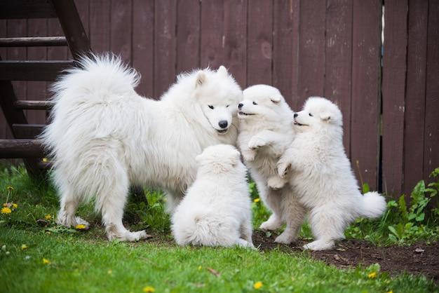 Vrouwelijke samojeed-hond met puppy's lopen op gras