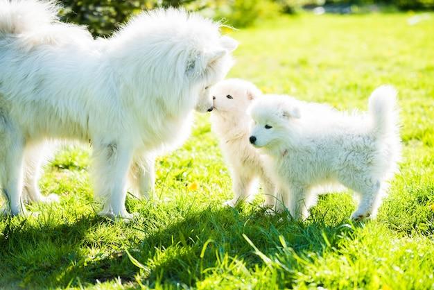 Vrouwelijke samojeed hond met puppy's lopen op gras