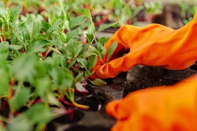 Vrouwelijke tuinman concept een glimlachende jonge vrouwelijke greenskeeper die zorgt voor de plantzaailingen die in de plastic kwekerijpotten in de kas worden gekweekt.