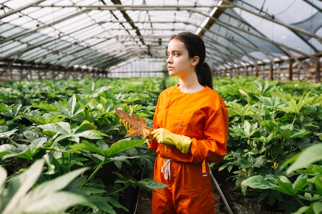 Vrouwelijke tuinman die geel japonicablad van fatsia houden