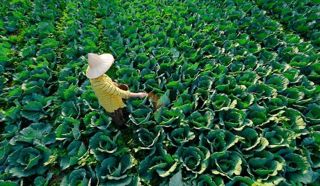 Vrouwelijke tuinman die kunstmest geeft aan koolgroenteplant op de plantage