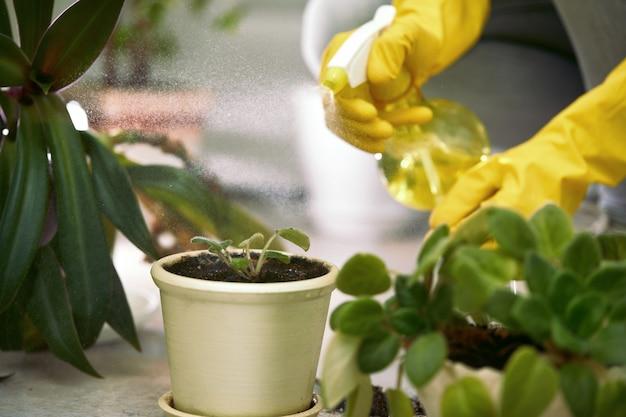Vrouwelijke tuinman sproeien de bladeren van kamerplanten na transplantatie. vrouw zorgt voor de planten