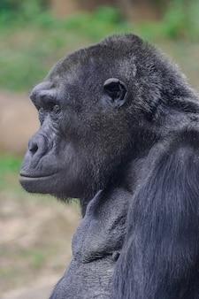 Vrouwelijke westelijke laaglandgorilla (gorilla gorilla gorilla)