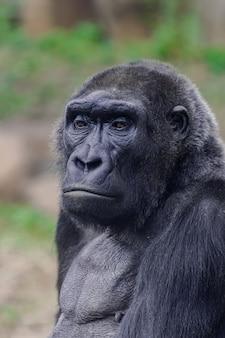 Vrouwelijke westelijke laaglandgorilla (gorilla-gorillagorilla), hoofdportret