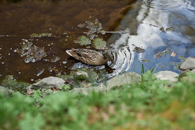 Vrouwelijke wilde eendeend die op een vijver met groen water zwemmen terwijl het zoeken van voedsel