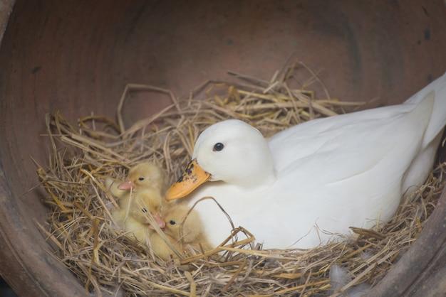 Vrouwelijke wilde eendeend en haar eendjes in het nest. moedereend en haar eendjes.