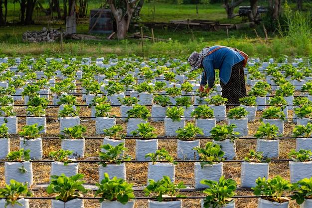 Vrouwen die 's avonds op prachtige aardbeienvelden werken.