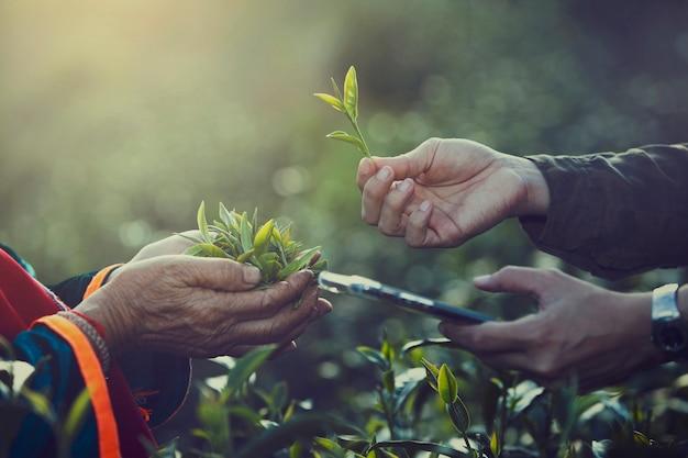 Vrouwen handvinger die theebladen opneemt bij een theeaanplanting voor product