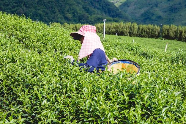Vrouwen in lokale heuvelstam die jonge groene theebladen op heuvel in de avond houden