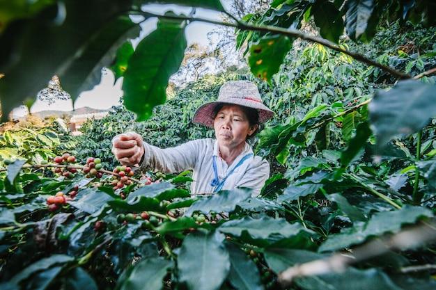 Vrouwen uit thailand die rood koffiezaad op koffieaanplanting plukken in doi chang, chiang rai, thailand.