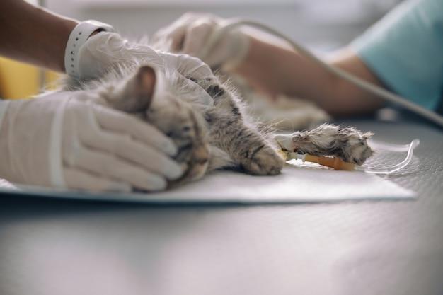 Vrouwendierenarts houdt grijze kat op intraveneuze infusie tijdens echografisch onderzoek in dierenarts