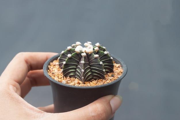 Vrouwenhand die een pot van gymnocalicium-cactus houden,
