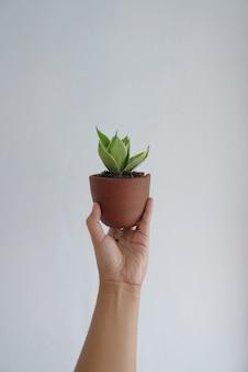 Vrouwenhand die sansevieria in kleine potten houdt