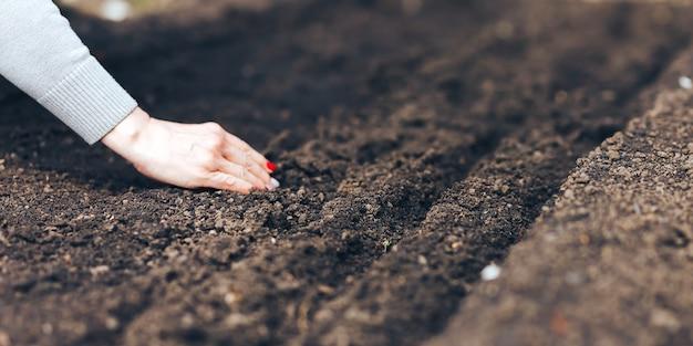 Vrouwenhand die zaad zetten in grond in de lente. zaai groentezaden. de hand van de vrouw maakt kleine zaden in de zwarte aarde