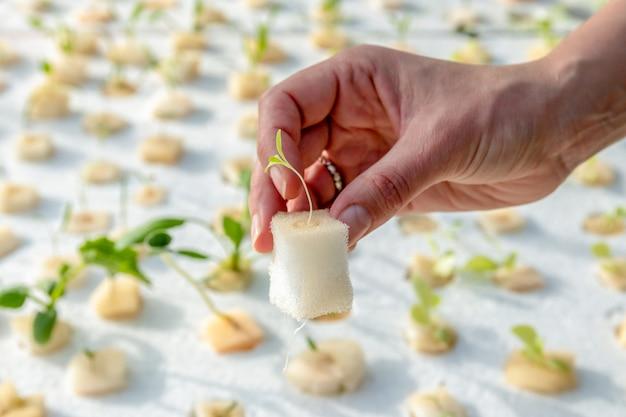 Vrouwenhanden die hydrocultuursla planten