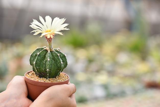 Vrouwenhanden die mooie gele cactusbloem houden die in een pot bloeien.