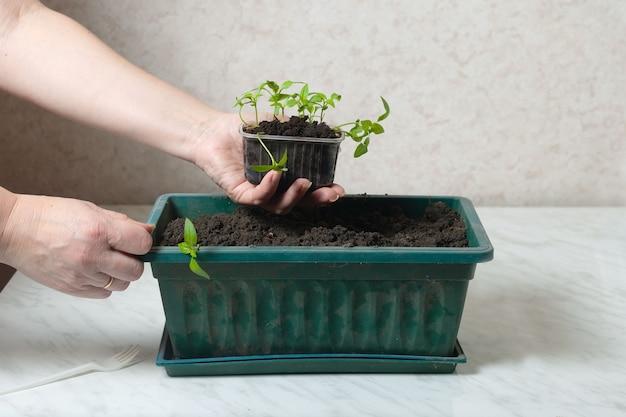 Vrouwenhanden houden een klein kopje tomatenzaailingen vast. planten worden geplant in een gekookte groene doos.