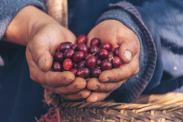 Vrouwenhanden oogsten koffieboon rijpe rode bessen planten vers zaad koffieboomgroei in groene boerderij