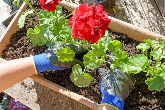 Vrouwenman die de geraniums voor de zomertuin planten