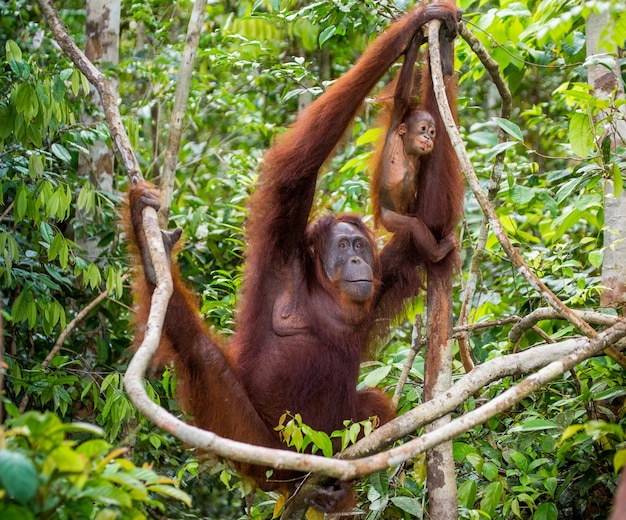 Vrouwtje van de orang-oetan met een baby in een boom. indonesië. het eiland kalimantan (borneo).